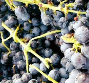 Druiven-006-300x279